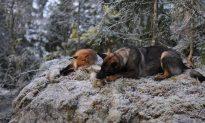 Like a Fairy Tale: Beautiful Friendship Between Dog and Fox