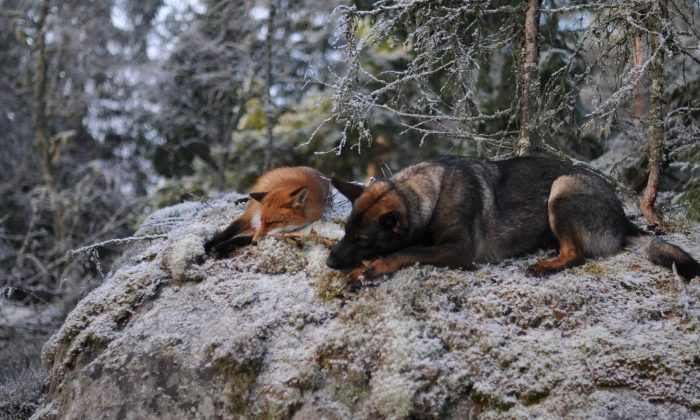 Sniffer the fox and Tinni the dog somewhere in Norwegian woods. (Photo Credit: Torgeir Berge)