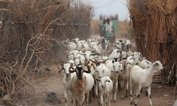 Goats being herded in Dadaab, Kenya. (Oli Scarff/Getty Images)
