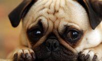 8 Adorable Guilty Dog Videos