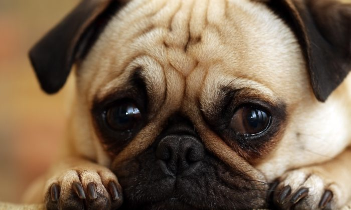 Guilty Pug staring at the camera. (*Shutterstock)