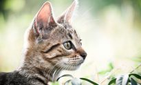 Earliest Evidence of Cat Domestication Found in China