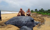 Leatherback Turtle Slips Toward Extinction