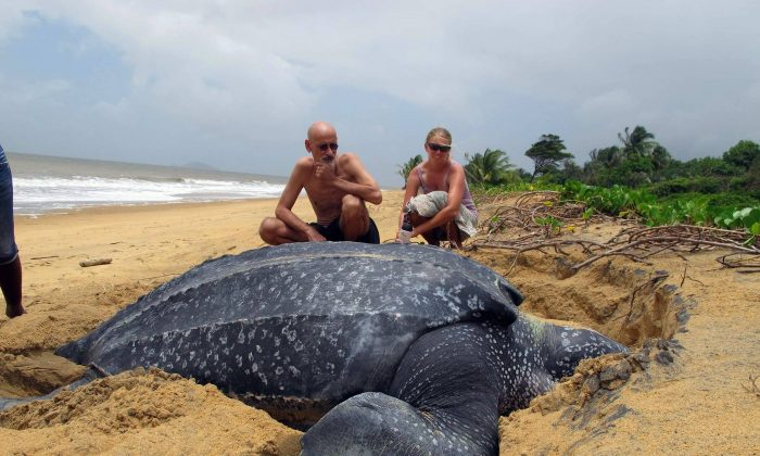 A huge Leatherback drags itself ashore to lay eggs in a nest of sand it hopes will protect the young from predators.