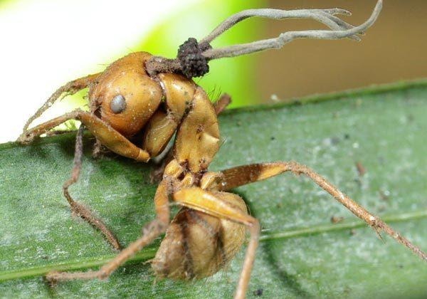 Fungus spores protruding from a dead ant. (HughesLab/David Hughes)