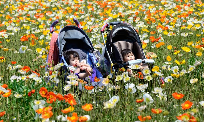 Babies rest in their prams in a field of Iceland poppys in full bloom at Showa Memorial Park in Tokyo on May 6, 2013. (TORU YAMANAKA/AFP/Getty Images)