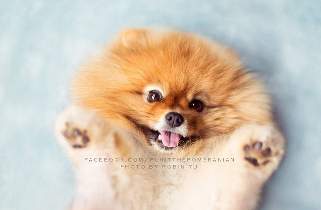 Flint the Pomeranian. (Robin Yu)