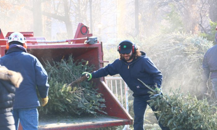 A Parks and Rec employee loads a Christmas tree into a chipper as part of a demonstration for the annual Mulchfest in Tompkins Square Park, New York, Jan. 9, 2014 (Allan Xie)