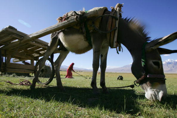 A donkey eats grass in the Xinjiang Uygur region of China, Sept. 7, 2007. (China Photos/Getty Images)