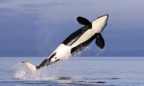 Video Shows Killer Whale Throwing a Seal 80 Feet Into the Air