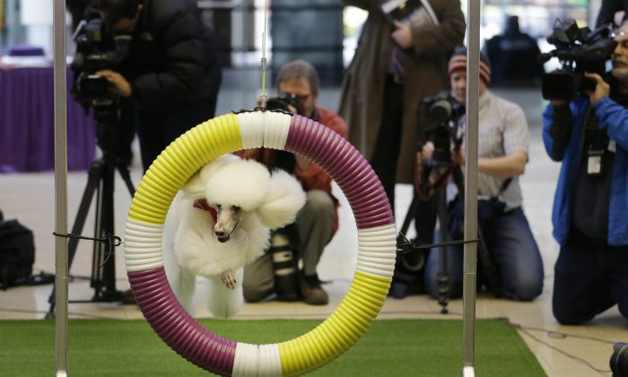 Callia, a standard poodle, demonstrates her mastery of an agility test during a news conference for the Westminster Kennel Club's dog show in New York on Jan. 15, 2014. For the first time ever, the show will include an agility competition, open to mixed breeds as well as purebred dogs. (AP Photo/Seth Wenig)