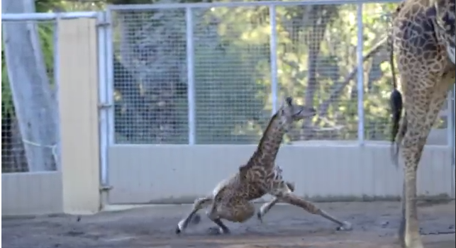 A 10-day-old female Masai giraffe at the San Diego Zoo took her first venture around her exhibit (YouTube.com, screenshot)