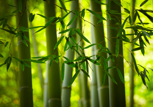 Fabrics marketed as organic bamboo are actually likely rayon made of bamboo fibers. The production of rayon involves many chemicals and other environmentally damaging factors. (Shutterstock*)