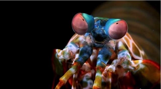 A photo of the Mantis shrimp (YouTube.com screenshot)