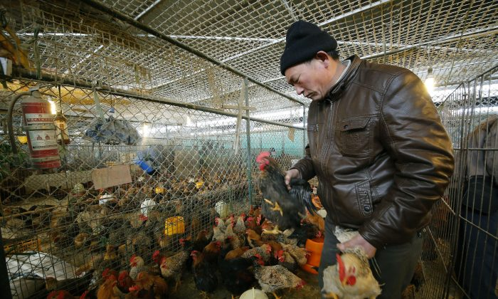 A vendor picks chickens at a wholesale poultry market in Shanghai, on Jan. 21, 2014. Chinese authorities confirmed on Jan. 27 that there have been cases of H7N9 spreading between humans. (AP photo)