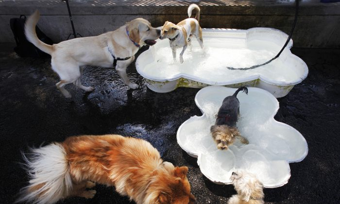 Dogs splash in canine wading pools in Hudson River Park during a heat wave, Manhattan, New York,  July 16, 2013. (Mark Lennihan/AP)