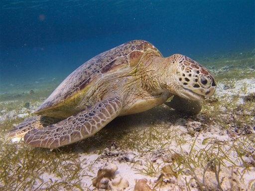 Indonesian Sea Turtles