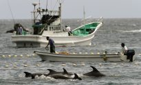 Should Japan Stop Its Annual Dolphin Hunt?