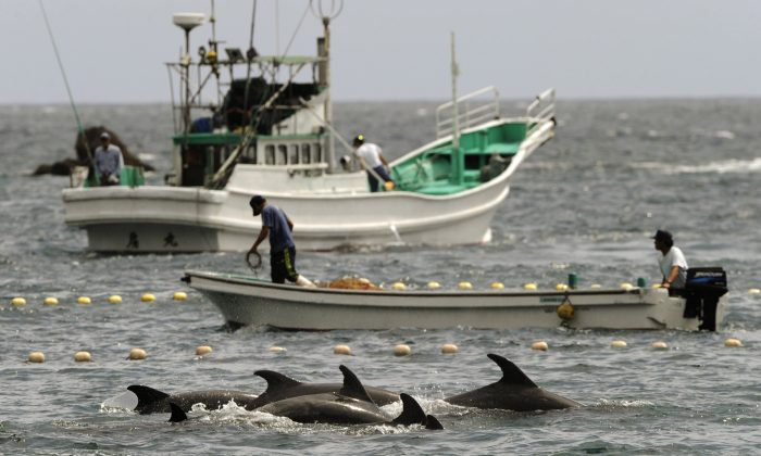 fishermen drive bottle-nose dolphins into a net during their annual hunt off Taiji, Wakayama Prefecture, Japan, Sept. 2, 2010. A Japanese government spokesman defended an annual dolphin hunt Monday, Jan. 20, 2014, one day after U.S. Ambassador to Japan Caroline Kennedy tweeted that she was deeply concerned by the inhumanity of the practice. (AP Photo/Kyodo News, File)