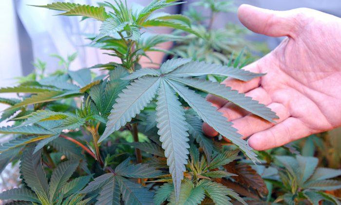 Marijuana growing in the home of two medical marijuana patients in Medford, Ore. (AP Photo/Jeff Barnard)