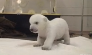 Toronto Zoo Video of Polar Bear Cub's First Steps Goes Viral, Over 4 Million Views