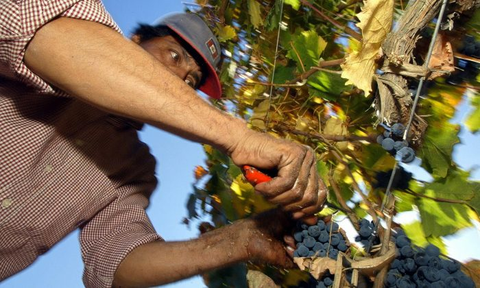 A farmer holds a grape cluster in Santiago, Chile. Canadian farmers say competition with produce from countries with weaker environmental and labour protections is making it hard to stay in business. (Martin Bernetti/AFP/Getty Images)