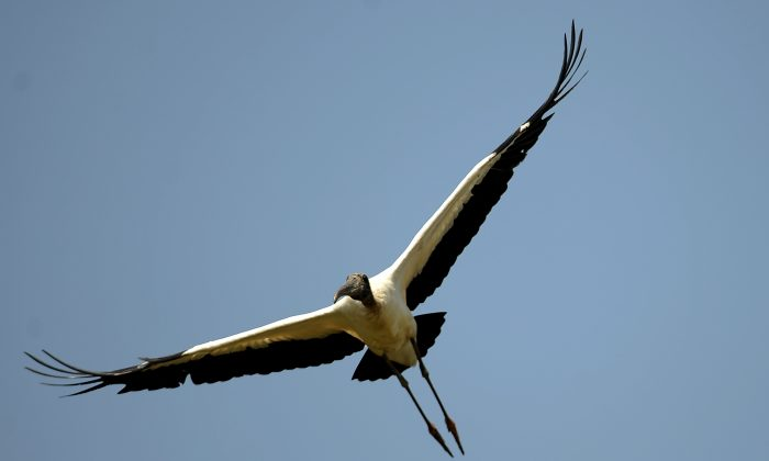A wood stork flies at the National Palo Verde Park on April 8, 2010 in Guanacaste, Costa Rica. (Yuri Cortez/AFP/Getty Images)