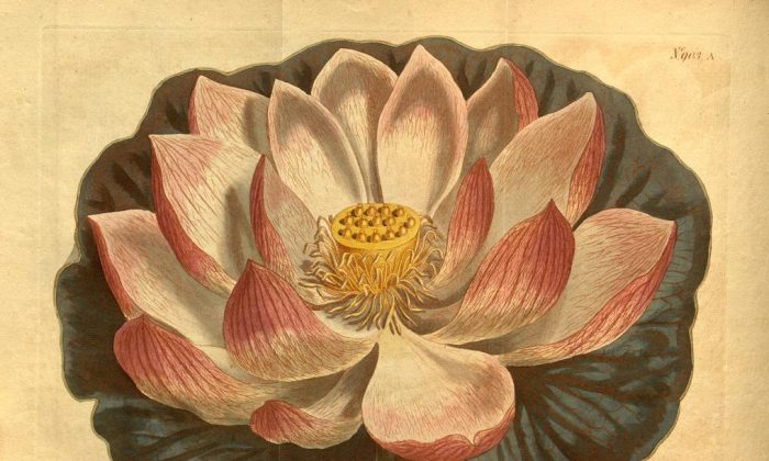 From Curtis's botanical magazine v.23-24 (1806). (Via Biodiversity Heritage Library)