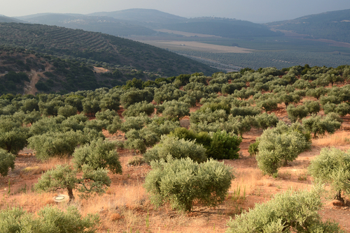 An olive grove in northern Israel. Israel has 100 years' experience tackling agricultural problems, such as heat and drought, and it is also known for its tech start-ups. Now, it is emerging as a hot spot for agri-tech startups.(Shutterstock*)