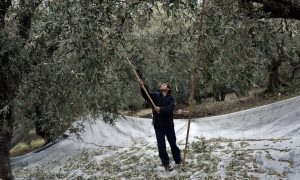Chasing the Early Harvest for Olive Oil (With Recipes)