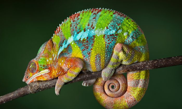 Is chameleons dynamic colour palette a way of their communication?(*Shutterstock)
