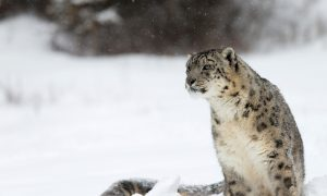 How to Track, Capture, and Tag a Snow Leopard (Photos)