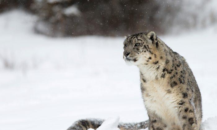 Snow leopard waiting (ShutterStock*)