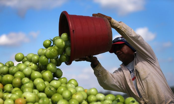 A worker dumps a bucket of tomatoes into a trailer as workers harvest them in the fields of DiMare Farms on Feb. 6, 2013, in Florida City, Fla. (Joe Raedle/Getty Images)
