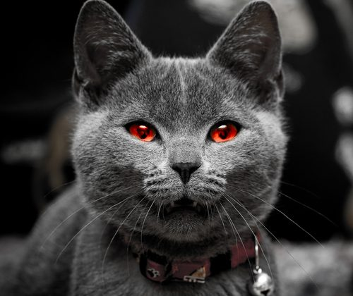 An edited concept photo of an evil cat. Accounts of vampire cats have been given in Japan, Bengal, and Ireland throughout history. (Shutterstock*)