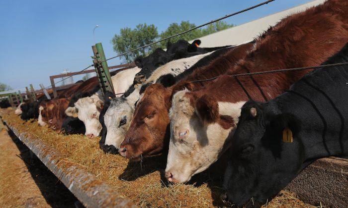 Cattle eat on a farm near Cuba, Illinois, Aug. 3, 2012 near Cuba, Illinois. (Scott Olson/Getty Images)