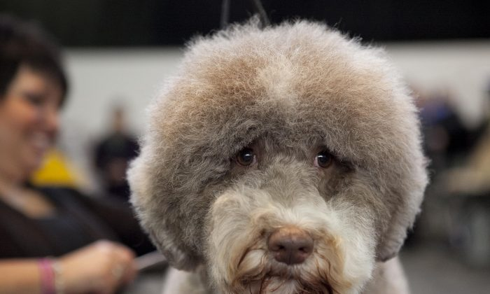 A dog at the Westminster Dog Show in New York, Feb. 11, 2014. (Samira Bouaou/Epoch Times)