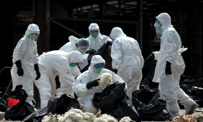 Officials wearing masks and protective suits pile dead chickens into black plastic bags in Hong Kong on January 28, 2014. Hong Kong began a mass cull of 20,000 chickens after the deadly H7N9 bird flu virus was discovered in poultry imported from mainland China, authorities said. (Philippe Lopez/AFP/Getty Images)