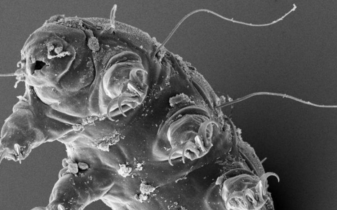 """A tardigrade, or """"water bear"""" is seen through an electron microscope. Less than 1 mm in length, they can withstand harsh environments and still thrive. (ESA/Dr. Ralph O. Schill)"""