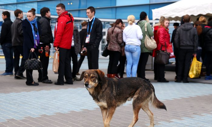 A stray dog walks through Olympic Park ahead of the 2014 Winter Olympics in Sochi, Russia, on Feb. 5, 2014. Sochi's dilemma over what to do about its many stray dogs in the run-up to the Olympics has put the focus on international pet adoption. Canada has been gaining a reputation as an increasingly popular haven for stray dogs from countries like India, China, Greece, Russia, and Mexico. (Paul Gilham/Getty Images)