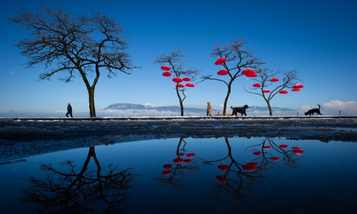 "MARCH 1: Reflected in a puddle of melted snow, people and dogs walk past umbrellas suspended from trees at Spanish Banks Beach in Vancouver, British Columbia, on Tuesday, Feb. 25, 2014. The art installation, called the ""Rainblossom Project"", was put up by an anonymous group to be a celebration of the rain the city receives. (AP Photo/The Canadian Press, Darryl Dyck)"