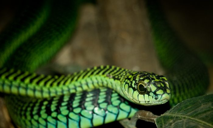 A boomslang snake, one of the world's most deadly snakes. (William Warby/Wikimedia Commons)