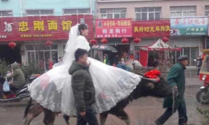 Chinese Bride Rides Water Buffalo to Wedding