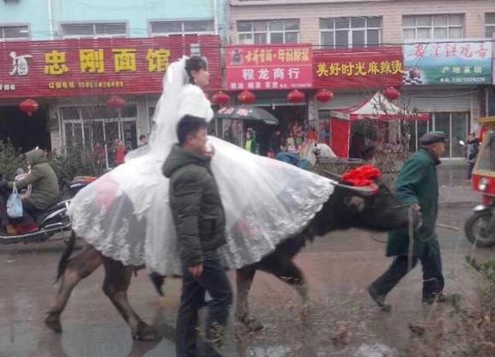 Screenshot showing a woman in East China, who traveled to her wedding on a water buffalo, after her groom was inspired by an ancient legend. (Screenshot/Baidu.com)
