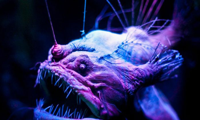 This weird deep sea angler fish lives at abyssal depths that exert pressures of 11,000 pounds per square inch.