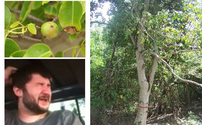 Top left: The deadly fruit of a manchineel tree in Costa Rica. ( Hans Hillewaert/Wikimedia Commons) Bottom left: Adam Anderson after an encounter with a manchineel in Antigua, see video below. (Screenshot/YouTube). Right: The manchineel tree, the worlds most dangerous tree. (Wikimedia Commons)