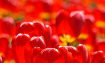 Tiptoe Through the Tulips in Ottawa