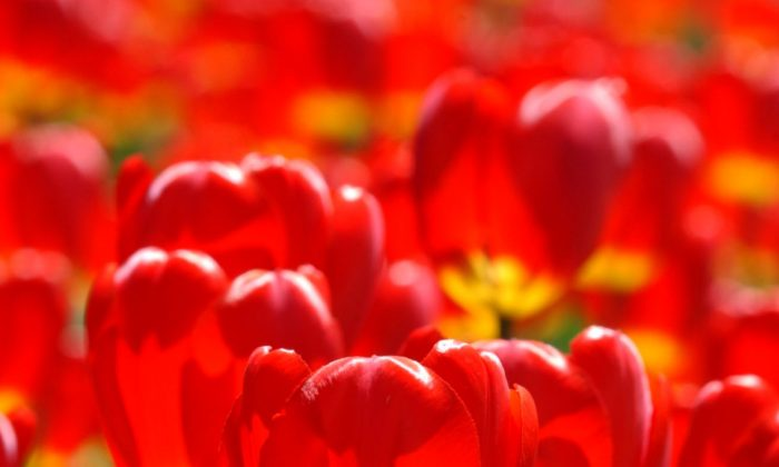 Bright red tulips in bloom. (Don MacKinnon/Getty Images)