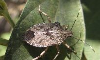 Study: Polar Vortex Killed 95 Percent of Stink Bugs in the US