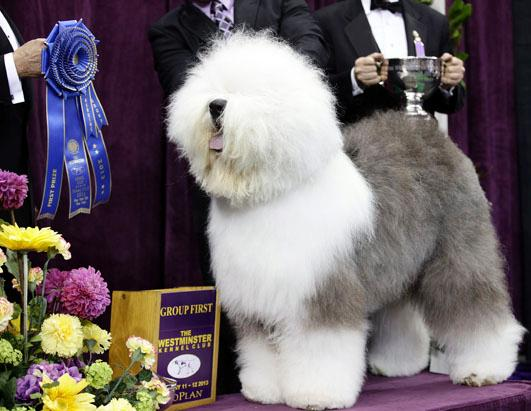 Old English Sheepdog (Courtesy of Old English Sheep Dog Society of America)